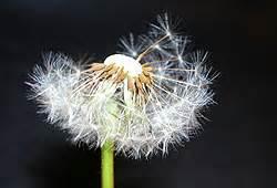 pollen allergen